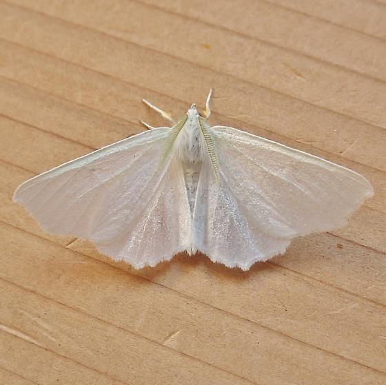 Geometridae: Ennomos subsignaria - Ennomos subsignaria - male