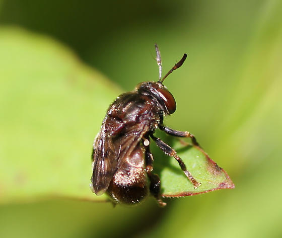 syrphid - Microdon
