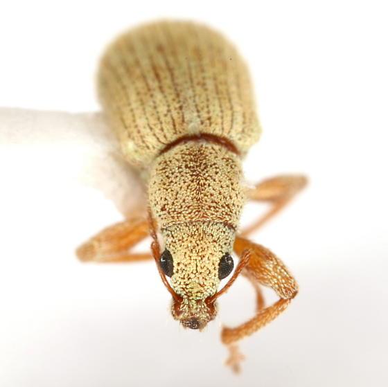 Polydrusus ochreus (Fall) - Polydrusus ochreus