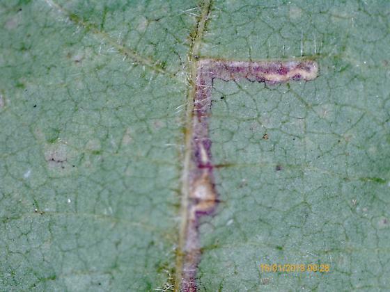 Lake Crabtree leaf miner on Rubus pensilvanicus D1064 2018 13 - Ectoedemia rubifoliella