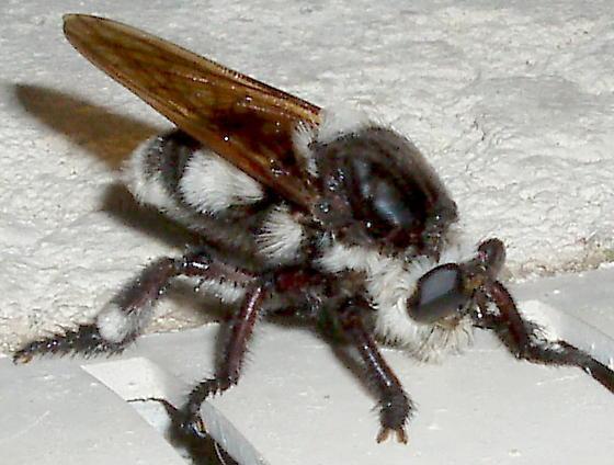 Bee Killer - - Mallophora bomboides