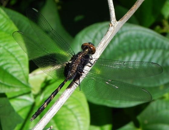 Marl Pennant or Black Pondhawk possibly? - Erythemis plebeja - male