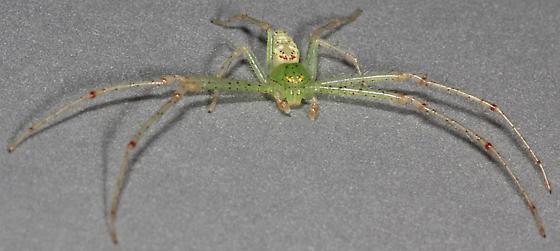 the most beautiful crab spider in California (Schick 1965) - Diaea livens - male
