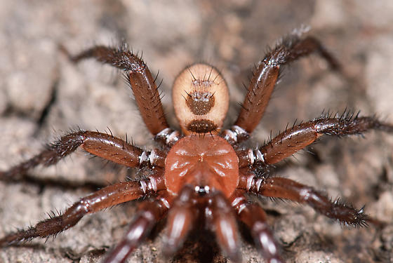 male Antrodiaetus pugnax - Antrodiaetus pugnax - male