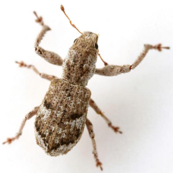 Pandeleteius cinereus (Horn) - Pandeleteius cinereus
