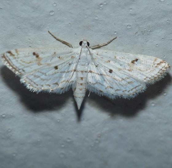 Crambid - Parapoynx allionealis