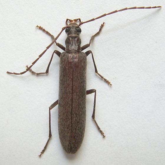 Anelaphus? - Calopus angustus
