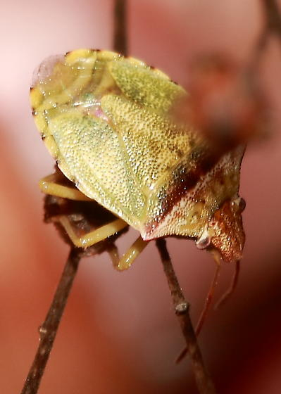 Stink Bug - Thyanta calceata