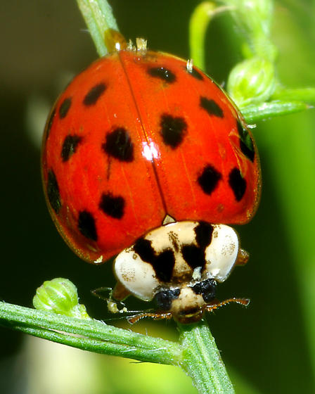 Asian Ladybug? - Harmonia axyridis