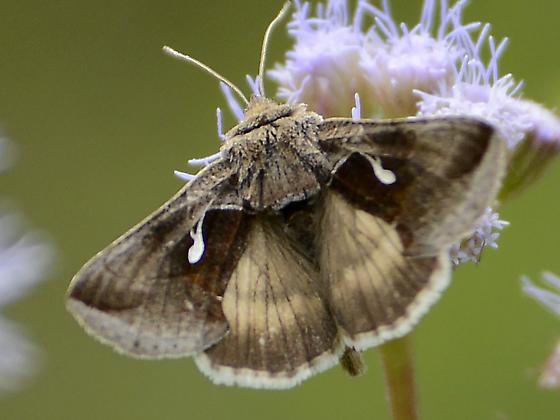 Moth or small butterfly - Anagrapha falcifera