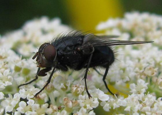 Hairy fly - Species Calliphora vicina - Blue blowfly - Calliphora vicina