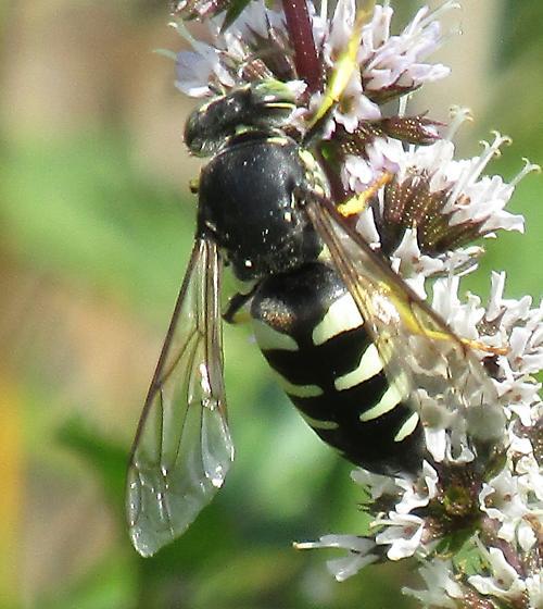 Bee - Bicyrtes quadrifasciatus - female