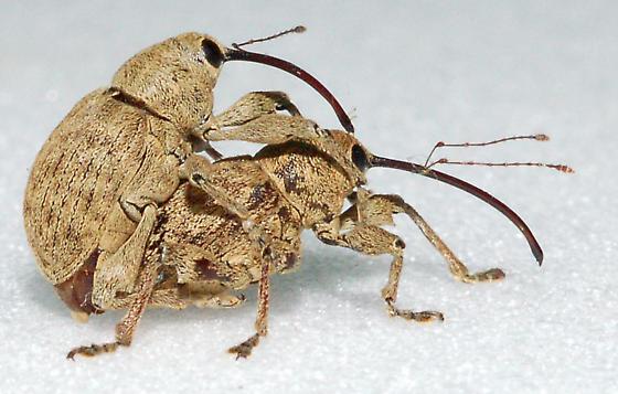 Mating Pair - Curculio - male - female