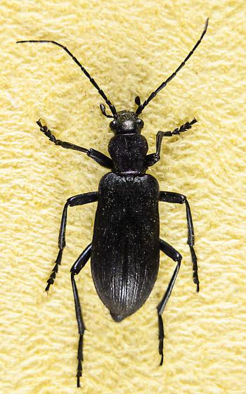 Ditylus gracilis? - Ditylus gracilis