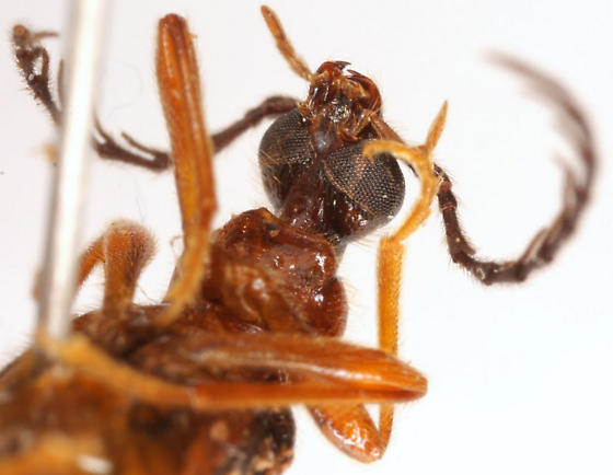 Dendroides canadensis Latreille - Dendroides canadensis