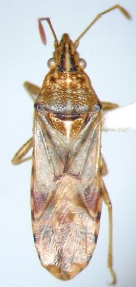 Another Belonochilus - Belonochilus numenius