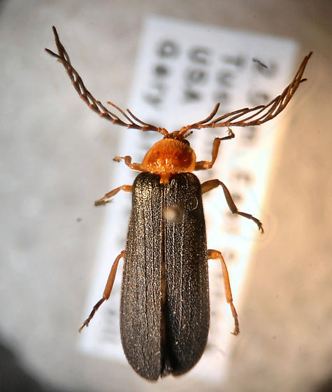 Feathered Antennae - Pterotus obscuripennis - male