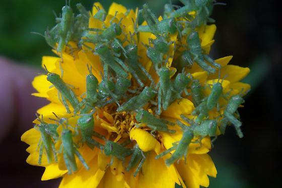Grasshopper babies - Schistocerca