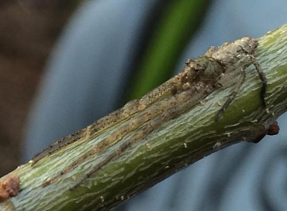 Spider camouflaged as leaf bud - Tmarus