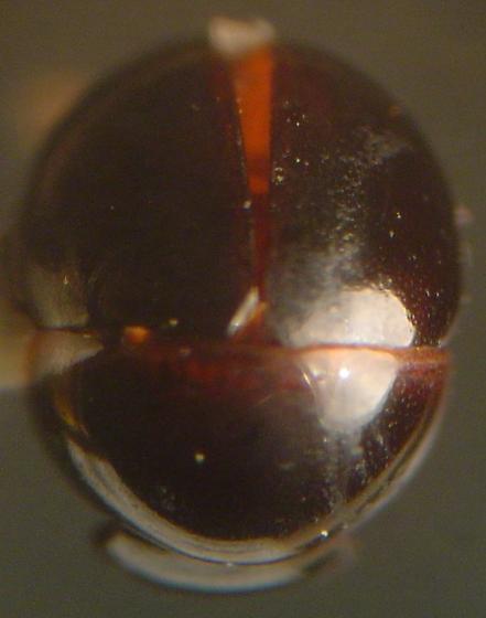 Agathidium fawcettae Miller & Wheeler - Agathidium fawcettae