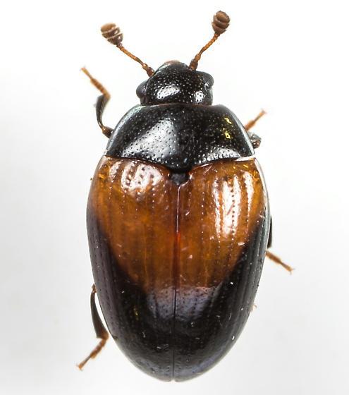 Tritoma pulchra