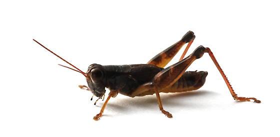 Melanoplus dawsoni - male