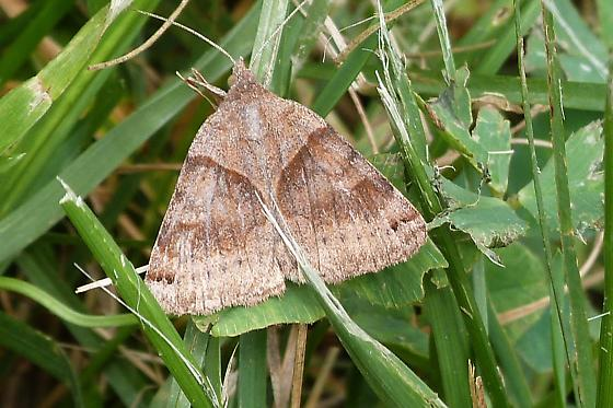 WFP moth - Caenurgina crassiuscula