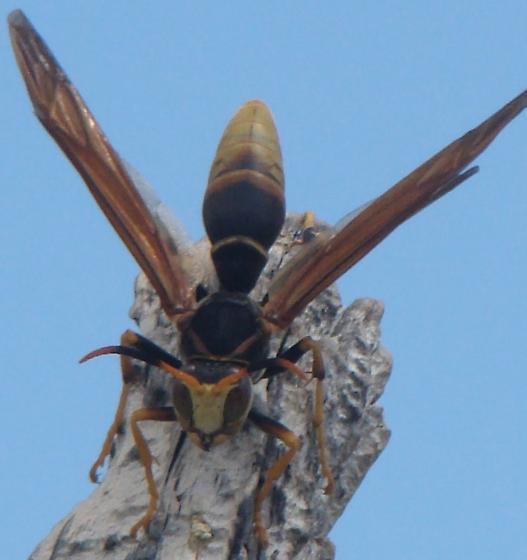 Hilltop wasp - Polistes comanchus - male