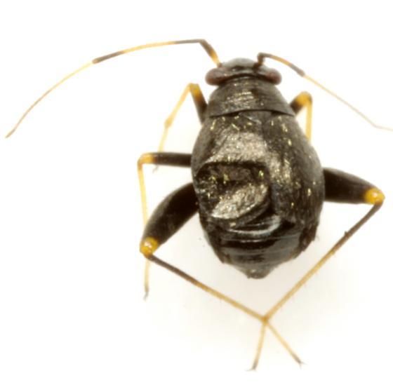 Halticus bractatus (Say) - Microtechnites bractatus