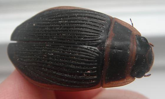 Dytiscus dauricus - female