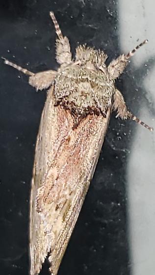Moth - Schizura
