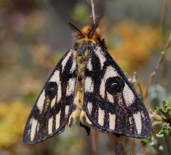 Unidentified Moth - Hemileuca eglanterina