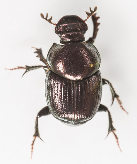 Beetle - Onthophagus orpheus