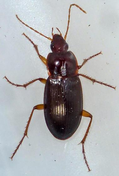 Brown Beetle - Calathus ingratus