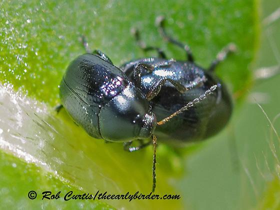 3022396 beetle - male - female