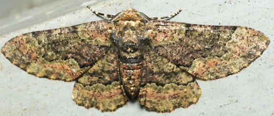 brown and black sooty moth - Phaeoura quernaria - male