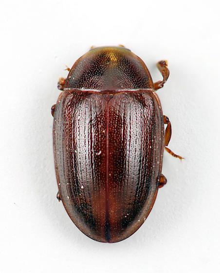 Darkling Beetle - Hyporhagus punctulatus