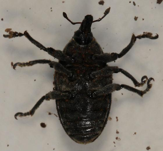 black weevil with diffuse gray spots - Larinus turbinatus