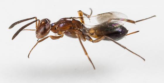 Wasp - Arachnophaga ferruginea - female