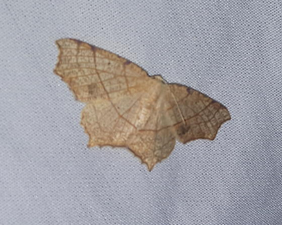Oak Besma - Hodges#6885 - Besma quercivoraria