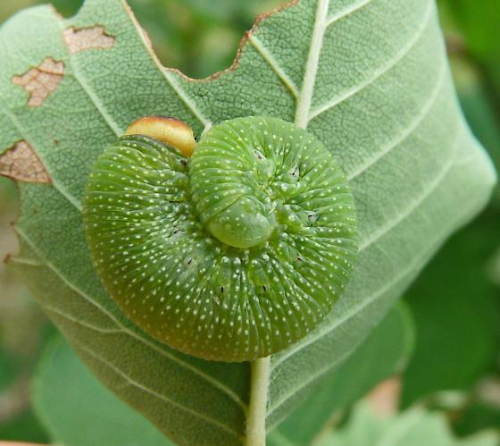 larva - Trichiosoma triangulum