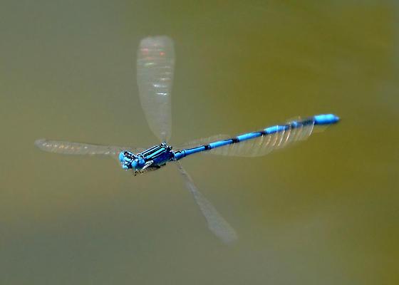 Double-striped Bluet - Enallagma basidens - male