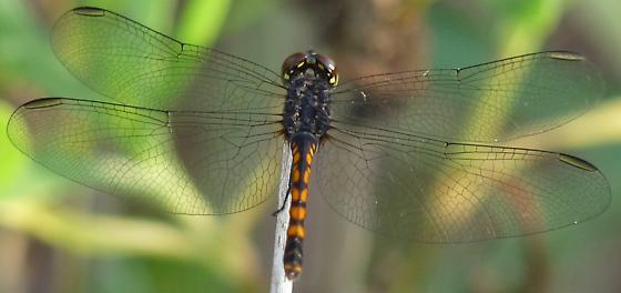 black & yellow dragonfly - Erythrodiplax berenice