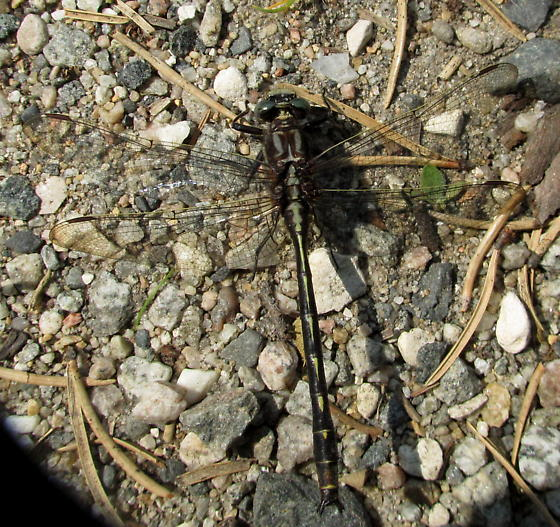 Gomphus lividus - Phanogomphus lividus - male