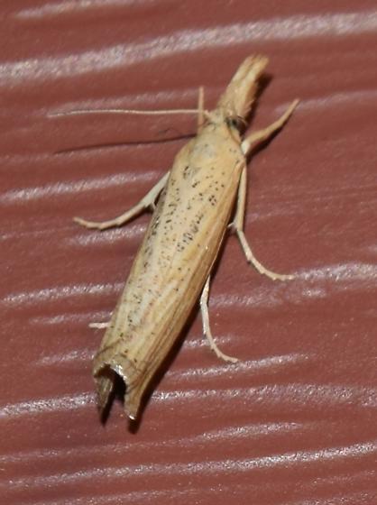Pediasia dorsipunctellus - Hodges#5417 - Pediasia dorsipunctellus