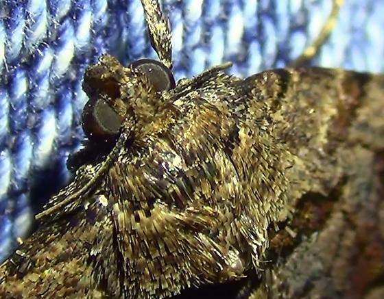 Moth On My Pants - Zaleops umbrina
