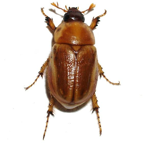Mottled Cyclocephala - Cyclocephala hirta - female