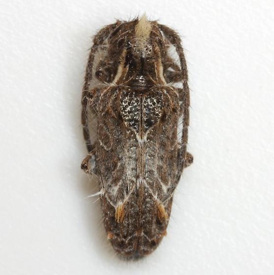 Desmiphora hirticollis (Olivier) - Desmiphora hirticollis