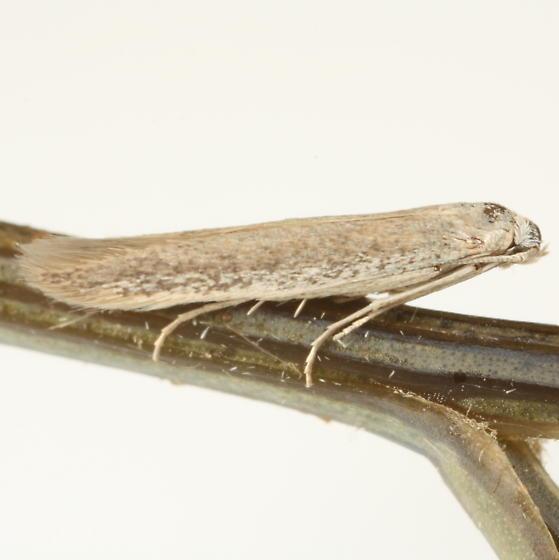 Coleophora klimeschiella