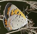 American Copper - Lycaena phlaeas - female